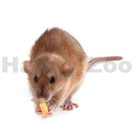 Potkan laboratorní velký